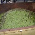 """Durant el matí d'ahir, es varen recollir, dels productorsserverins, unes deu tones d'oliva que serviran per elaborar l'oli de la campanya anual que organitza l'ajuntament """"Oli de Son Servera"""". Un […]"""