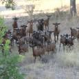 Des de fa uns sis anys, un ramat de cabres salvatges, que habiten al puig de Son Corb, baixen diàriament a la recerca de menjar i beguda a les terres […]