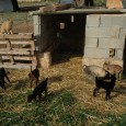 Heidi. Així es diu aquesta cabra propietat de Mari Silva i Biel Vives, que el passat divendres 15 de febrer va donar a llum cinc cabertes a la finca de […]